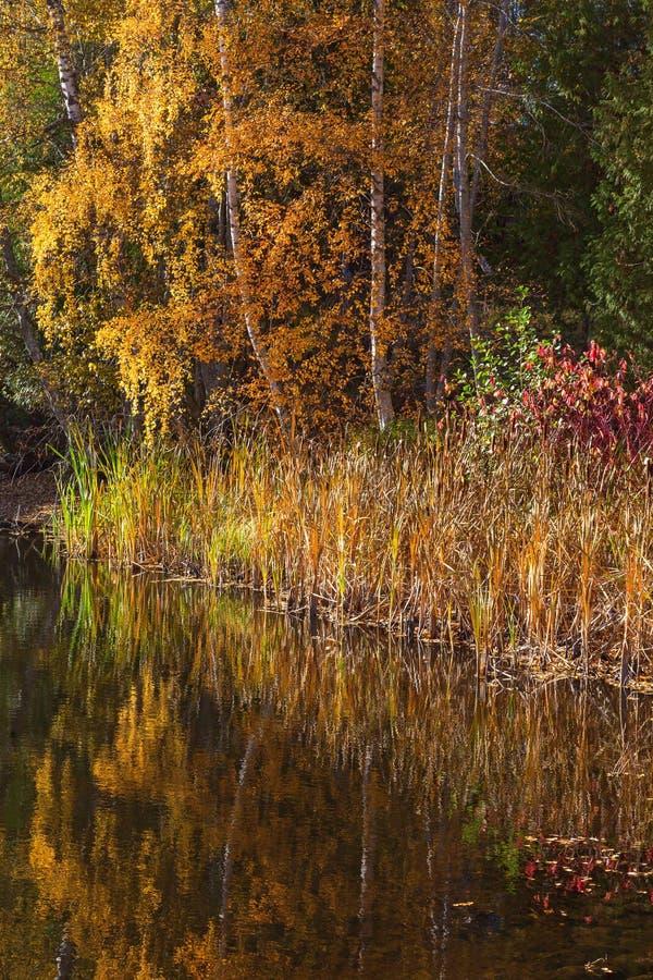 De herfst gekleurde riet en bomen bij het meer royalty-vrije stock foto's