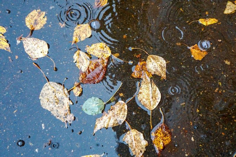 De herfst gele bladeren in het water, in een vulklei, een regen, plonsen en cirkels op het water royalty-vrije stock foto's