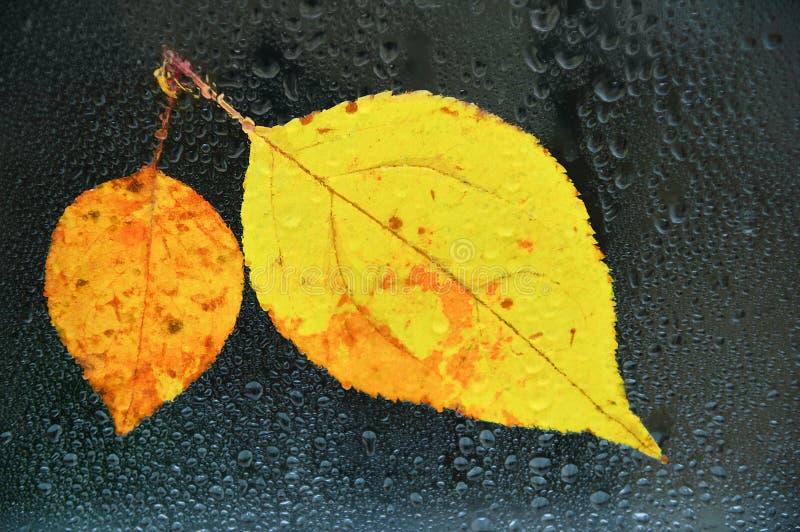 De herfst gele bladeren op nat glas in dalingen van water royalty-vrije stock foto's