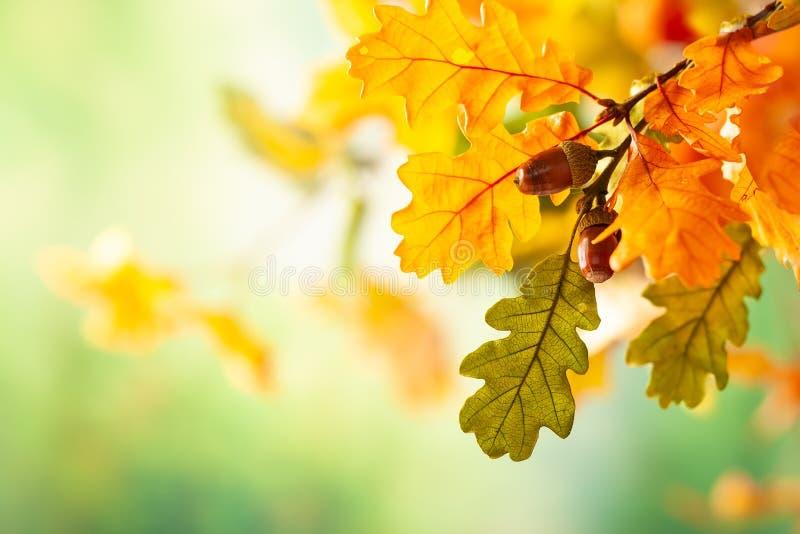 De herfst gele bladeren van eiken boom in de herfstpark Dalingsachtergrond met bladeren royalty-vrije stock afbeeldingen