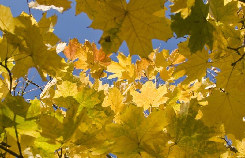 De herfst. Gele esdoornbladeren over blauwe hemel royalty-vrije stock foto's