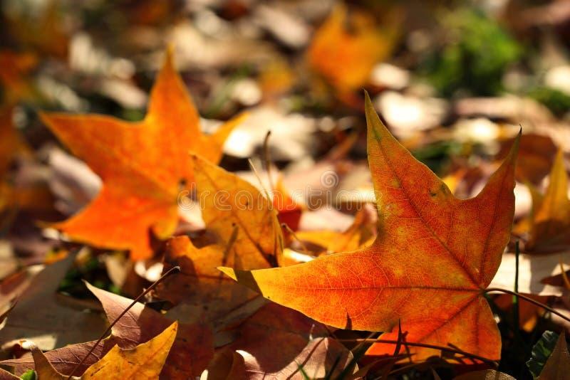 De herfst gevallen bladeren stock afbeeldingen