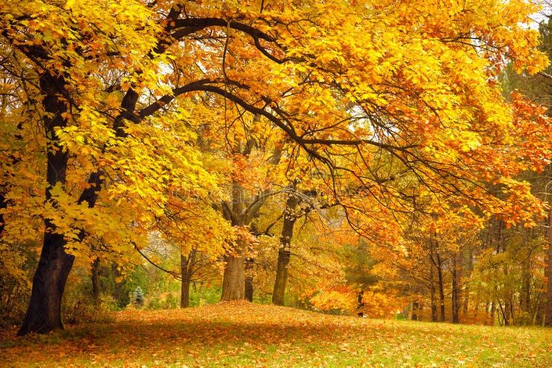 De herfst/Gouden Bomen in een park stock foto's