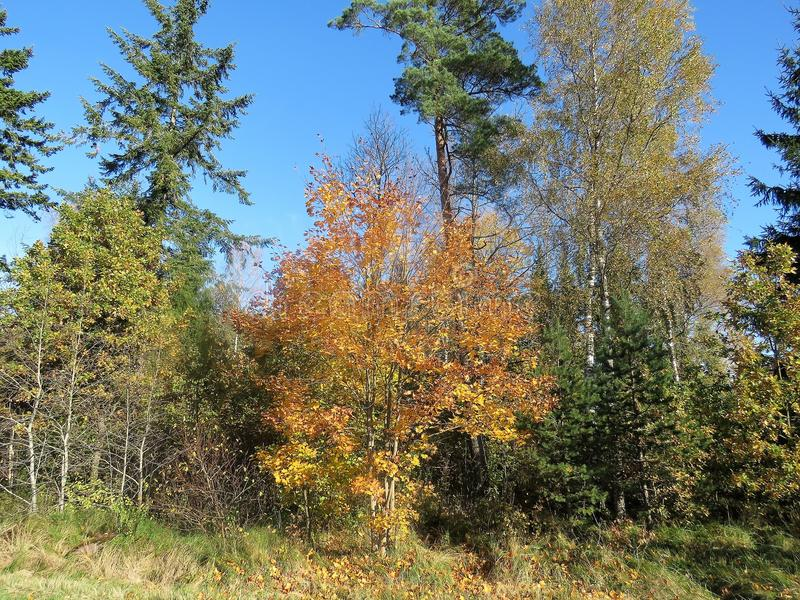 De herfst gouden bomen en blauwe hemel stock afbeelding