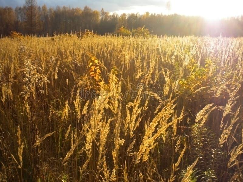 De herfst, gouden gebied, heldere zon, bos in de afstand, landschap stock afbeelding