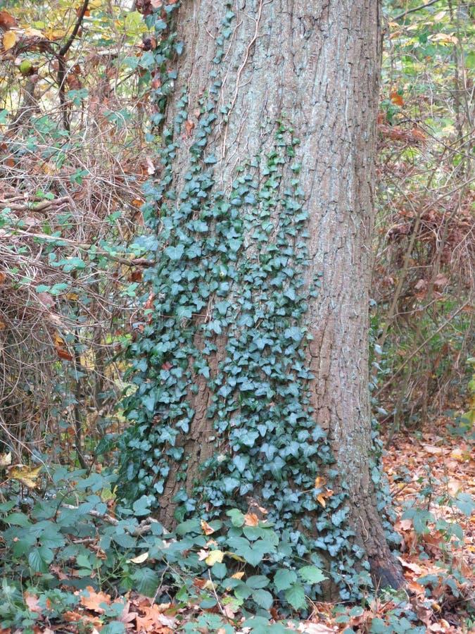 De herfst in het Bos met Boom en Klimop royalty-vrije stock fotografie
