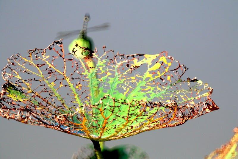 De herfst, het vernietigde residu van het lotusbloemblad royalty-vrije stock foto's