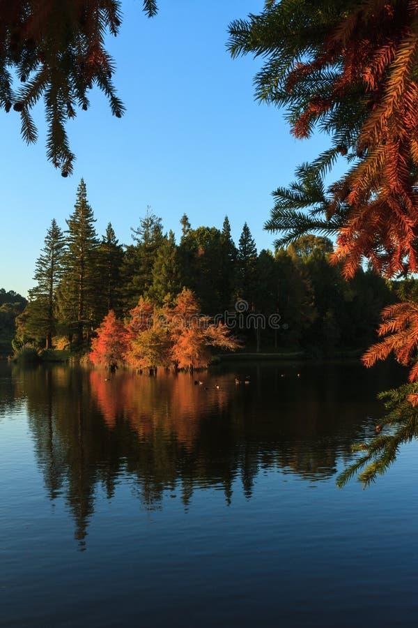 De herfst: Kale die cipressen in een meer worden weerspiegeld stock fotografie