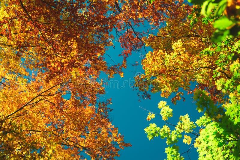 De herfst kleurrijke vertakt treetops in dalings boshemel en wolken door de de herfstboom zich van onderaan De achtergrond van he stock foto's