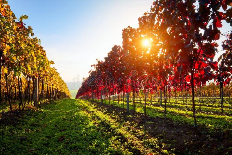 De herfst kleurrijke wijngaard met zonnestralen bij zonsondergang stock afbeeldingen