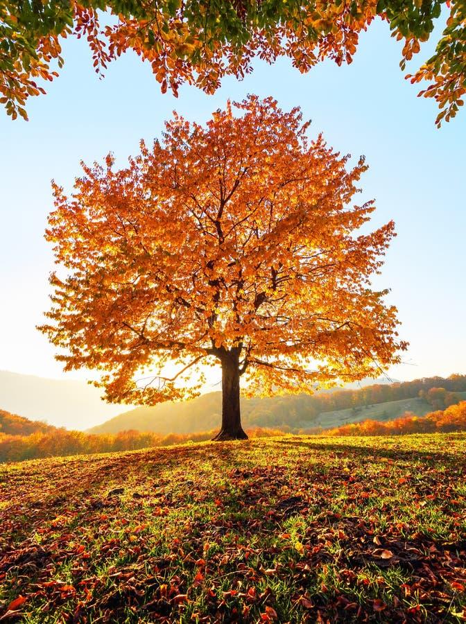 De herfst landelijk landschap met bergen, bossen en gebieden Er is een eenzame weelderige die boom op het gazon met oranje blader stock fotografie