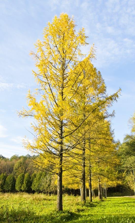 Download De herfst, lariksweg stock afbeelding. Afbeelding bestaande uit park - 39118305