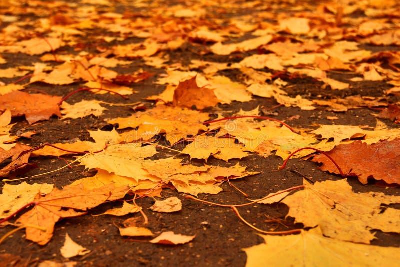 De herfst losse weg met gele bladeren van esdoorn stock fotografie