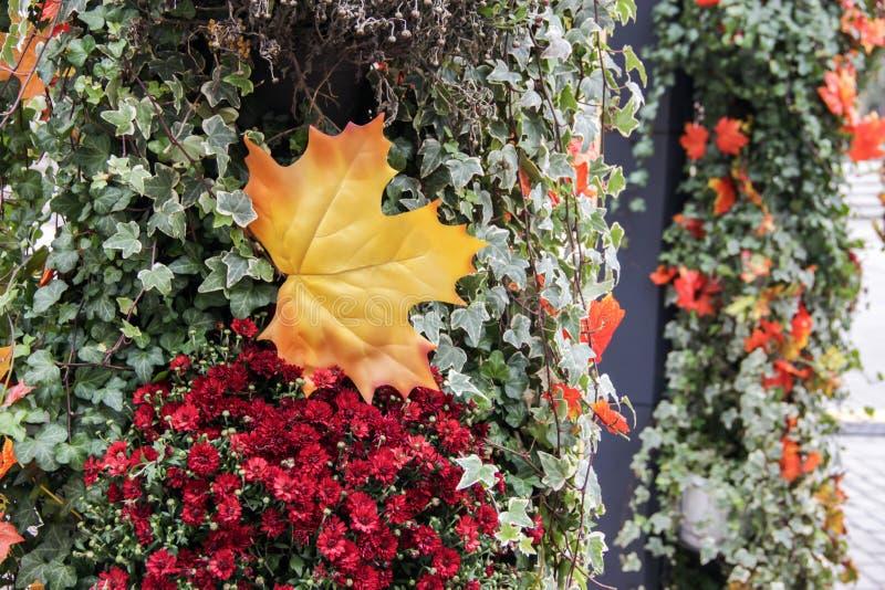 De herfst openluchtdecoratie Sluit omhoog geel esdoornblad, rode bloemenklimop stock foto