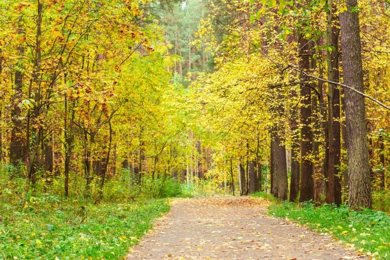 De herfst in pijnboom en berkbos stock fotografie