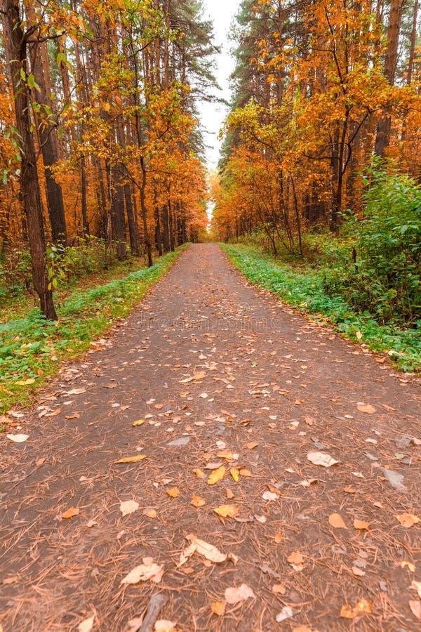 De herfst in pijnboom en berkbos stock afbeeldingen