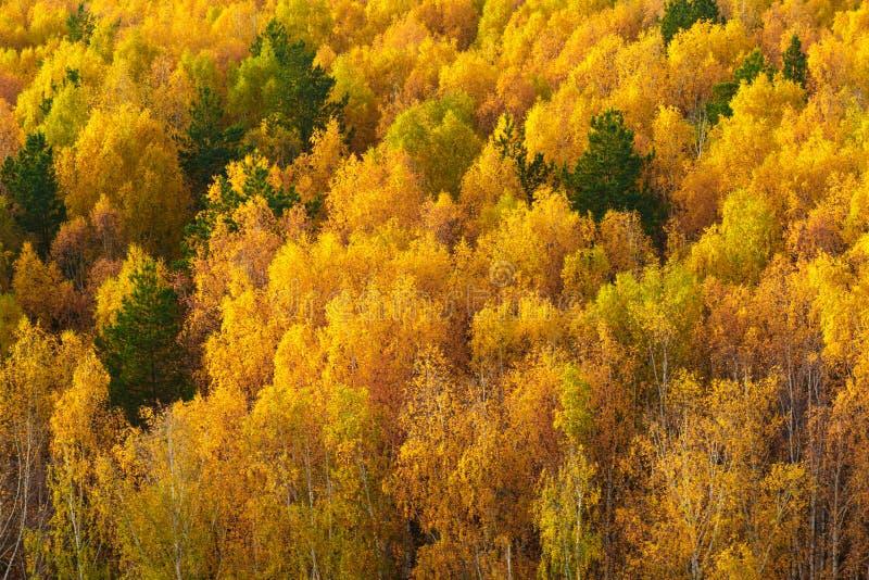 De herfst in pijnboom en berkbos stock foto's