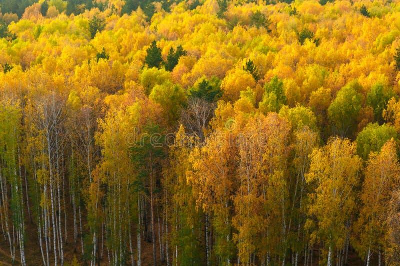 De herfst in pijnboom en berkbos stock afbeelding