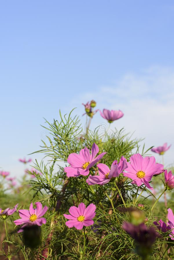 In de herfst, de purpere bloemen in bloei royalty-vrije stock afbeelding