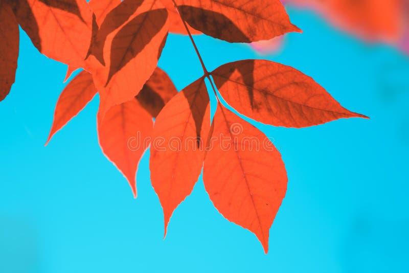 De herfst rode bladeren op boom over blauwe hemel stock fotografie