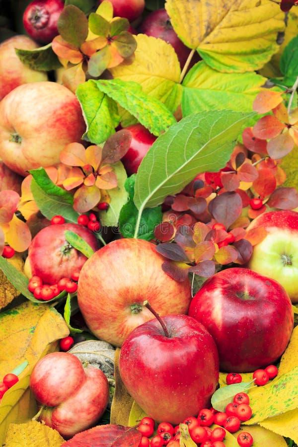 De herfst, rode, gele, groene bladeren met appelen en bessen stock foto's