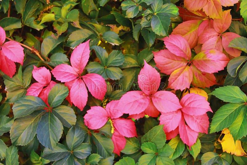 De herfst roze, oranje en rode bladeren van bomen op groene achtergrond stock afbeelding