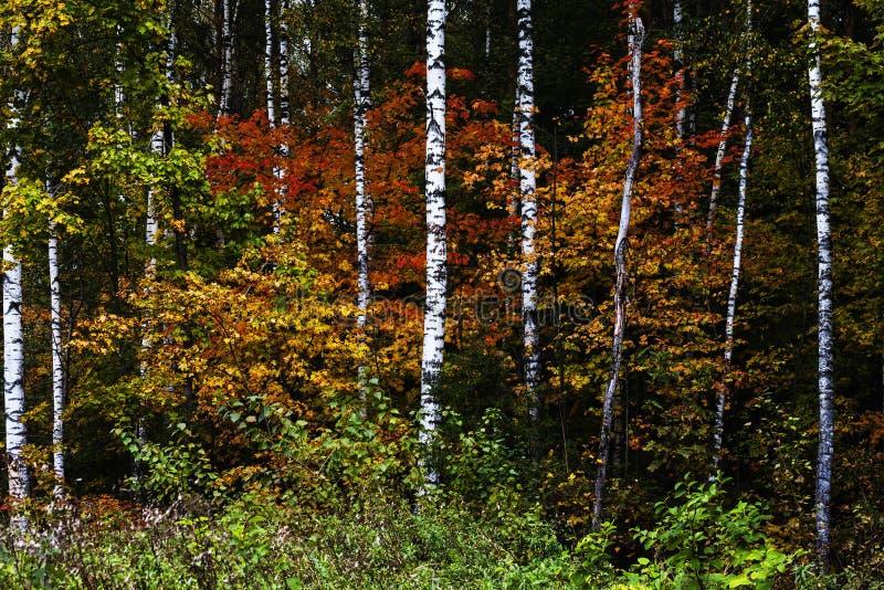 De herfst Russisch bos stock afbeeldingen