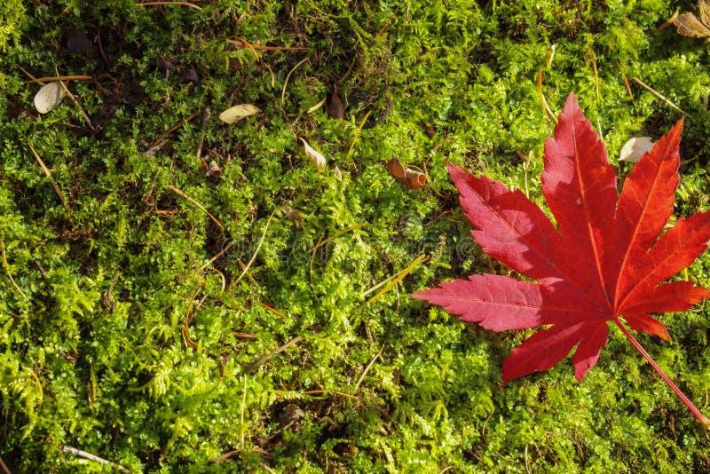 De Herfst van het esdoornblad royalty-vrije stock afbeeldingen