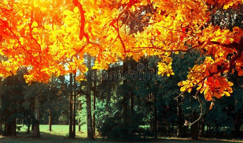 De herfst verlaat achtergrond - eiken boomtak met oranje die gebladerte door zonneschijn, zonnig de herfstlandschap in helder zon stock afbeelding