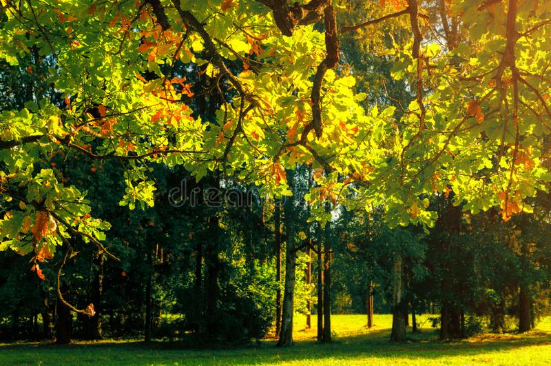 De herfst verlaat achtergrond - eiken boomtak met oranje die gebladerte door zonneschijn, zonnig de herfstlandschap in helder zon royalty-vrije stock foto