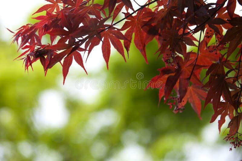 De herfst verlaat zeer ondiepe nadruk op groene bokeh stock afbeelding