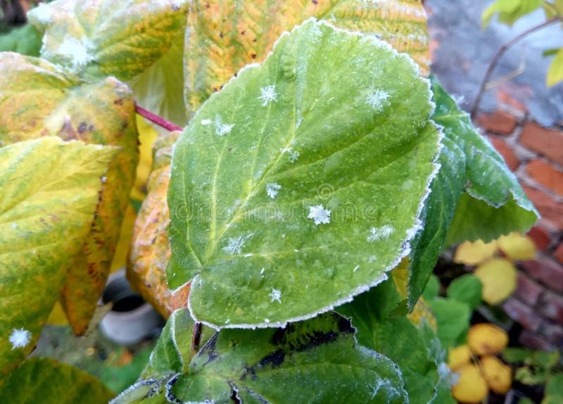 De herfst De winter Bevroren geeloranje bladeren met sneeuwvlokken natuurlijke achtergrond van Rusland stock foto's