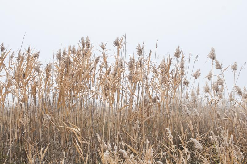 De herfst yelow riet, mistige dag royalty-vrije stock foto's