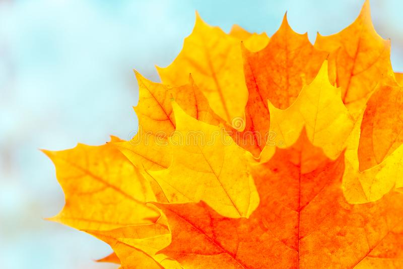 De herfstachtergrond met heldere veelkleurige esdoornbladeren Geeloranje bladeren op vage blauwe achtergrond Selectieve nadruk royalty-vrije stock afbeelding