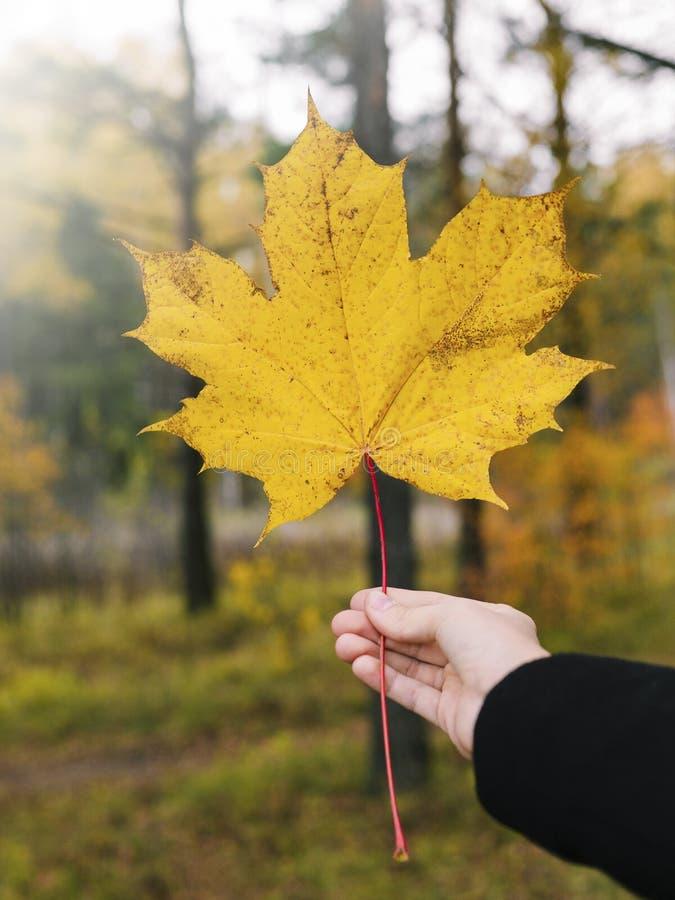 De herfstblad op een bosachtergrond Het meisje houdt een geel blad in hand royalty-vrije stock foto's