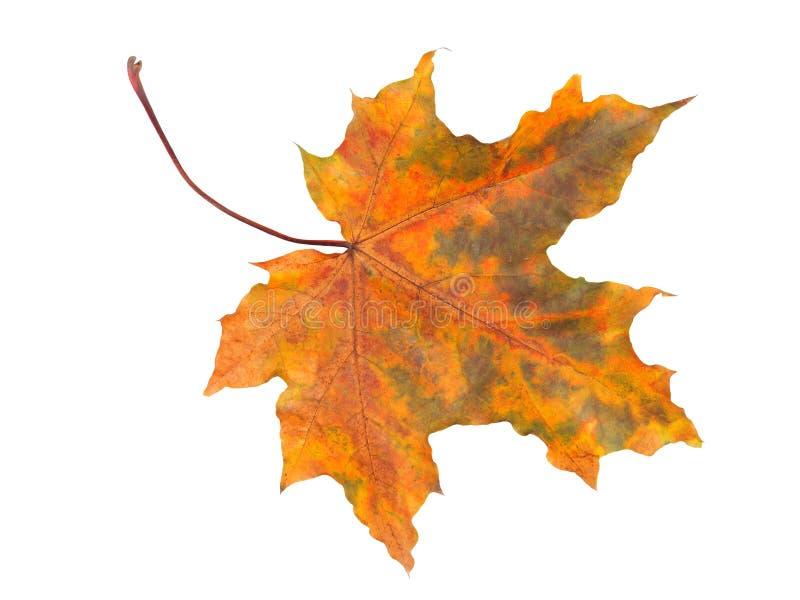 De herfstblad op wit stock foto's