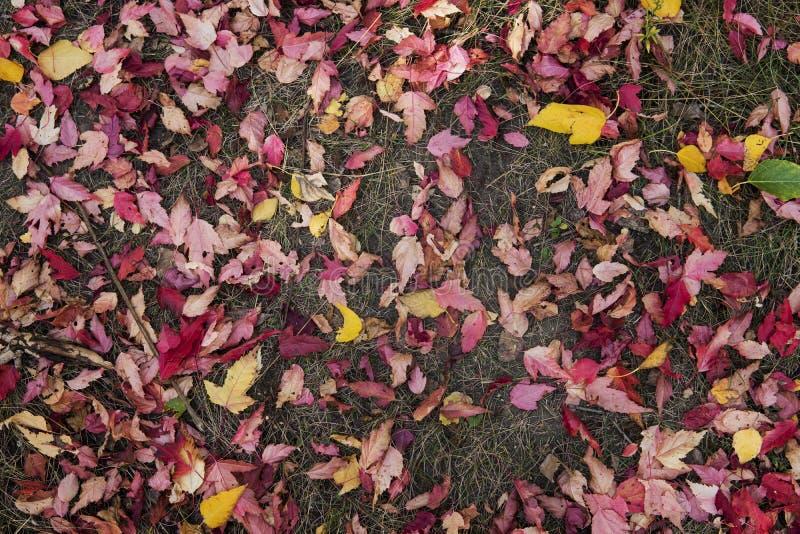 De herfstbladeren Bourgondië ter plaatse in het Park Kleurrijke die achtergrond van gevallen de herfstbladeren wordt gemaakt stock foto