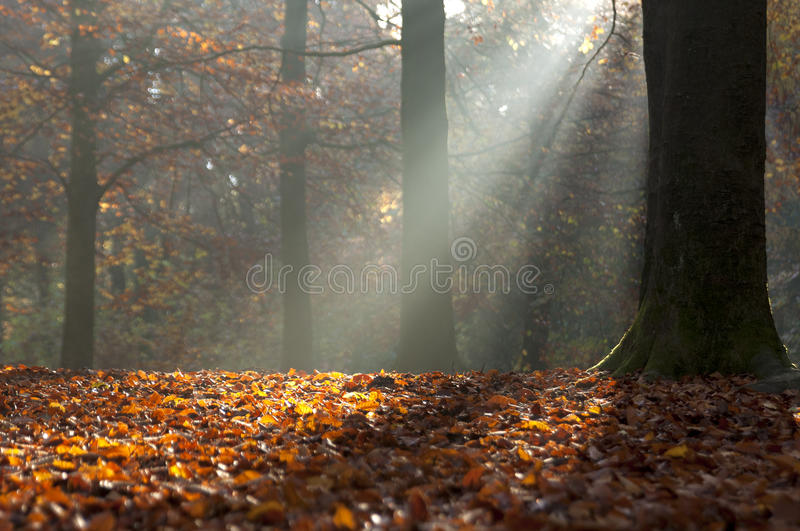 De herfstbladeren en lichte stralen in herfstbos stock fotografie