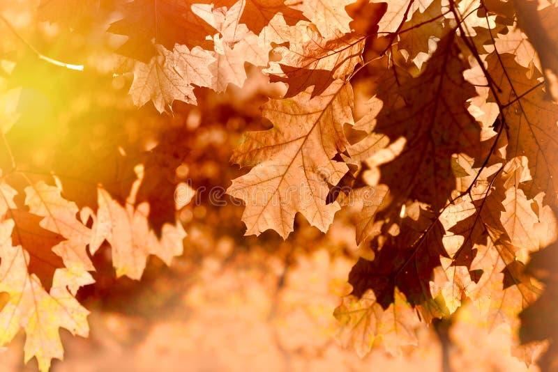 De herfstbladeren op boom door bladeren van de zon de lichte herfst op boom wordt aangestoken die stock afbeeldingen