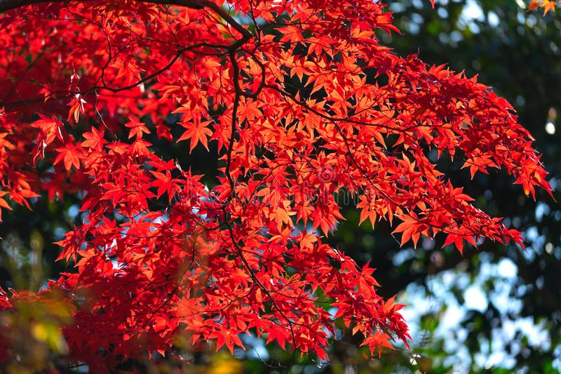De herfstbladeren rond Arashiyama, Japan royalty-vrije stock foto