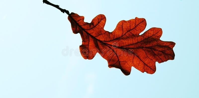 De herfstbladeren van de eiken-boom stock afbeelding