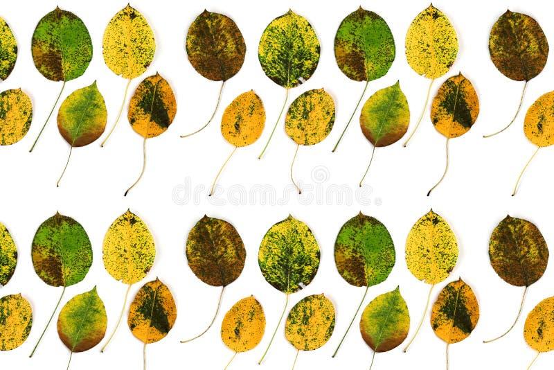 De herfstbladeren van een peer royalty-vrije stock foto