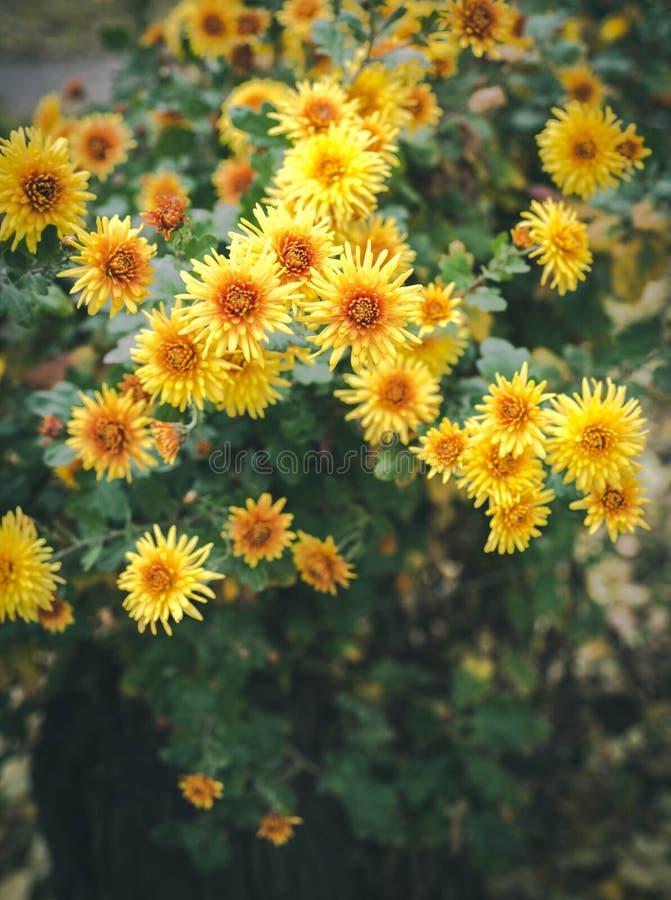 De herfstbloemen, mooie chrysanten in bloembed Gele asters die in het park groeien stock fotografie
