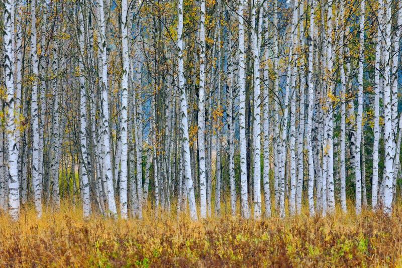 De herfstbomen in de bos Gele bomen van Finland met bezinning in de stille waterspiegel Dalingslandschap met bomen De boom van de royalty-vrije stock foto