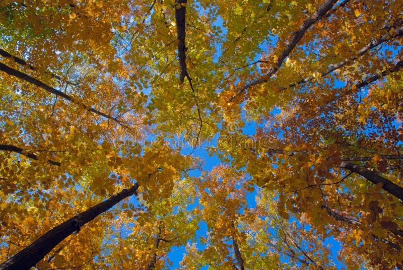 De herfstbomen die hun kronen aan de duidelijke blauwe hemel uitrekken stock foto's