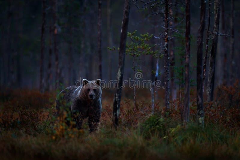De herfstbomen met beer De nachtaard draagt verborgen in bos Mooie bruin draagt lopend rond meer met dalingskleuren gevaarlijk royalty-vrije stock afbeelding