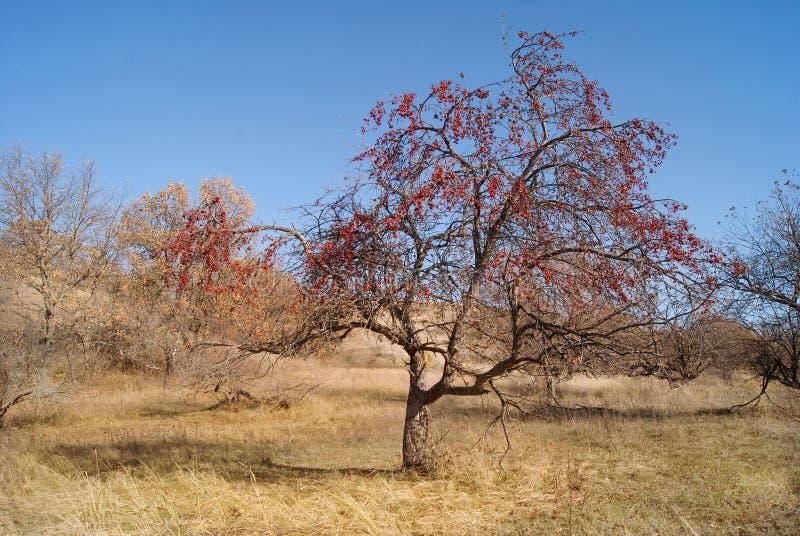 De herfstboom met kleine appelen wordt behandeld die stock fotografie