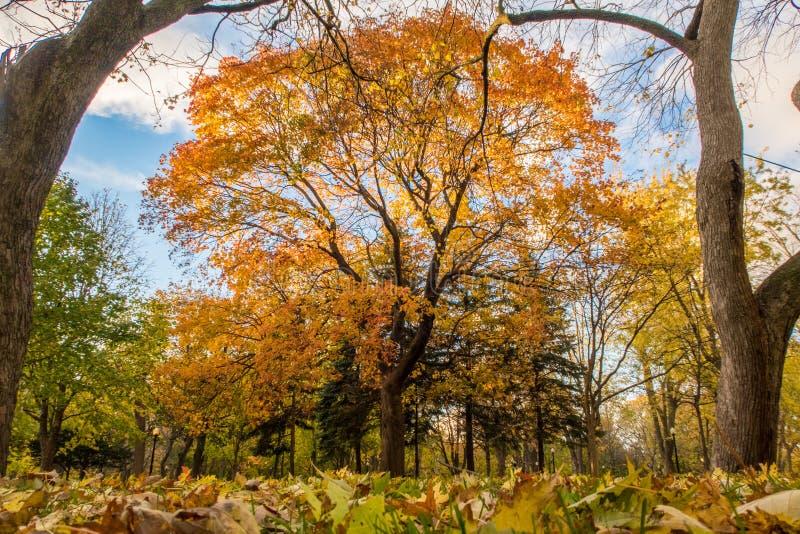 De herfstboom met oranje bladeren royalty-vrije stock foto
