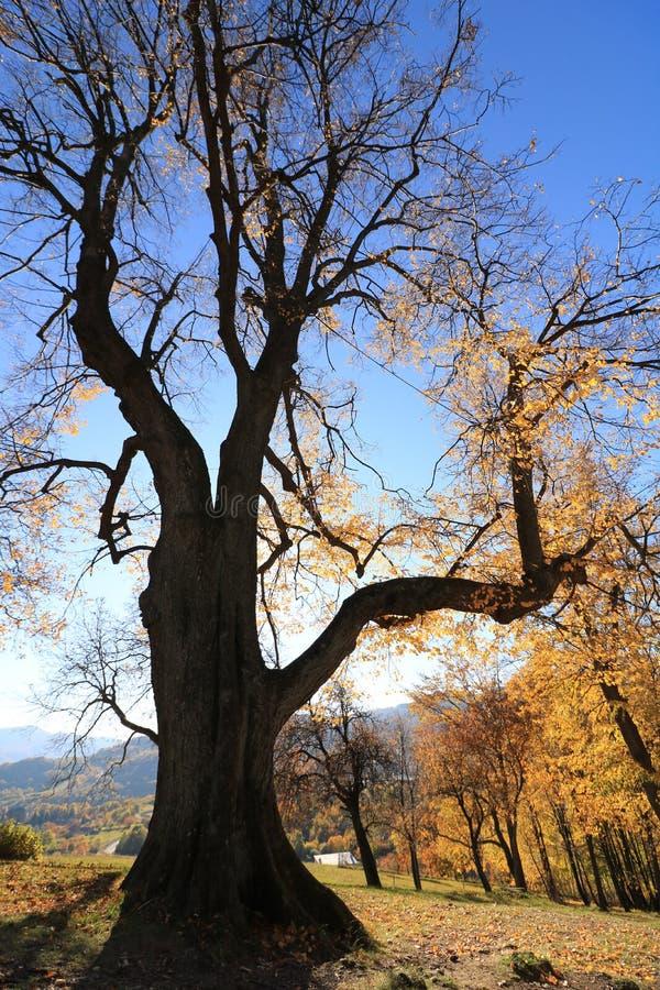 De herfstboom, met de zon die erachter verbergen stock fotografie