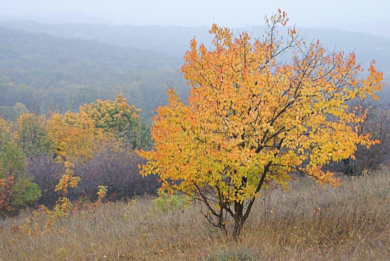 De herfstboom tegen bos op heuvels in mist stock afbeeldingen